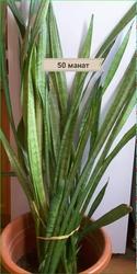 Комнатное растение в большом горшке