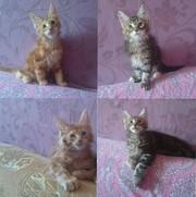 Продаются котята Мейн Куны